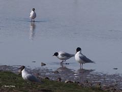 Mediterranean Gulls  M4109025sm (Preselector) Tags: rspb leightonmoss medgull suttoncoldfieldrspb