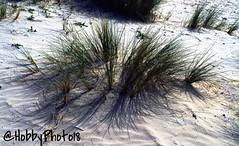 Oyats (hobbyphoto18) Tags: plant france nature plante sand pentax sable whitesand extrieur nordpasdecalais dunkerque k50 littoral cotedopale oyats oyat ammophilaarenaria leffrinckoucke sableblanc roseaudessables pentaxk50