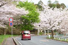 A view in the forest park (Wunkai) Tags: japan  cherryblossom sakura izumi    ibarakiken  atagoshrine kasamashi