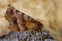 Early thorn moth (Selenia dentaria) on bark (Ian Redding) Tags: uk colour nature animal fauna dark insect spring european pattern bright wildlife moth underside geometridae british invertebrate arthropod firstgeneration earlythorn seleniadentaria