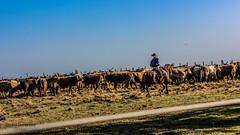 'Volteando a boiada..' (Suzana Fernandes Fotografia) Tags: sol rio grande do cavalo tropa sul vaca lida boiada cavaleiro gado crioulo tropeiro campeiro tupanciret