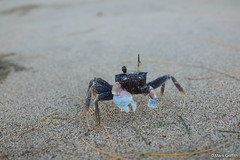 My Little Crab Friend (Mark Griffith) Tags: vacation hawaii springbreak kauai haena sonyrx1m2 20160413dsc04643