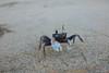My Little Crab Friend (Mark Griffith) Tags: vacation hawaii springbreak kauai haena sonyrx1m2 20160413dsc04643