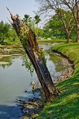 Broken off tree and canal in Suan Luang Rama IX park in Bangkok, Thailand (UweBKK ( 77 on )) Tags: park trees tree broken water grass reflections garden thailand canal asia bangkok sony lawn 9 stump trunk southeast alpha dslr 77 rama slt ix luang suan