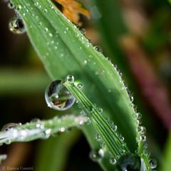 Goccia1 (Enrica Casotti) Tags: macro primavera nature water spring natura drop dew acqua rugiada goccia macrofotografia tamronaf90mm128macro11 nikond7100