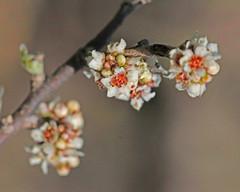 CAC037177a (jerryoldenettel) Tags: flower bush sumac nm shrub wildflower 2016 rhus anacardiaceae rosids rhusmicrophylla desertsumac littleleafsumac sapindales eddyco rattlesnakespringspicnicarea