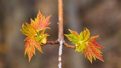 New maple leaves (elenashen5) Tags: leaves maple