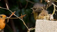 Robin_6108 (GrahamStevens) Tags: robin spring wildlife bedfordshire luton britishbirds grahamstevens ukbirds robinyoungfeeding