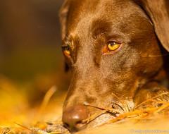 Contemplative (KB RRR) Tags: dog colorado rockymountains frontrange chocolatelabrador shyla