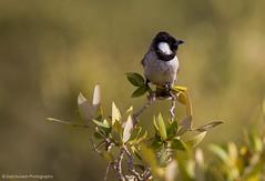 White Cheeked Bulbul (Ziad Hunesh) Tags: bird canon tamron bulbul 150600mm 7dmarkii zhunesh