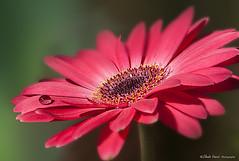 Goccia di rugiada (claudio.vancini) Tags: spring flower raindrop gerbera fiore rugiada primavera