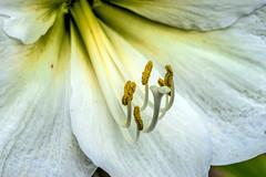 Amaryllis: Pollen, Stamen and Stigma (GMills31) Tags: white backyard louisiana stamen amaryllis pollen stigma shreveport sonya7ii