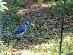 Selection is Complete (Gabriel FW Koch) Tags: blue brown white green nature canon outside eos spring backyard jay dof bokeh shell naturallight feeder bluejay telephoto peanut nut springtime nesting songbird