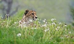 Hilltop Cheetah (jrussell.1916) Tags: nature cat feline wildlife kansascity cheetahs kansascityzoo canonef70200f4lis14tc