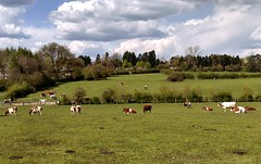 Cows grazing in the fields at Bhaktivedanta Manor - 27/04/2016 - IMAG2632 (DavidC Photography 2) Tags: new uk england london temple for cow milk spring hare cows farm centre international heath april fields production products produce organic dairy shelter awareness krishna krsna manor 27 society protection consciousness grazing hertfordshire watford mandir 27th herts aldenham gokul 2016 ahimsa iskcon bhaktivedanta letchmore internationalsocietyforkrishnaconsciousness wedsnesday goshalla