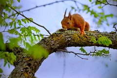 The spring explorer (VB31Photo) Tags: red france tree cute nature leaf spring furry squirrel wildlife exploring explore faux midi leafs arbre printemps acacia roux feuilles mignon vulgaris robinier ecureuil doux midipyrnes flickrfriday sciurus commun vb31photo