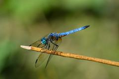 Blue Dasher -  (ajblake05) Tags: canada male dragonfly britishcolumbia insects northamerica coquitlam odonata libellulidae lowermainland greatervancouver bluedasher pachydiplaxlongipennis hexapoda minnekhadaregionalpark