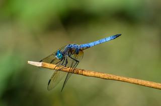 Blue Dasher - ♂