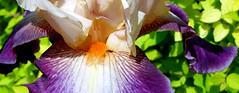 Cream and purple iris, showing beard (Martin LaBar) Tags: iris flower macro beard purple southcarolina lirio iridaceae pickenscounty irisdomestica