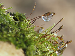 PC250207 (turbok) Tags: moose pflanze pflanzenmitwasser wasseranpflanzen wassertropfen wildpflanzen c kurt krimberger