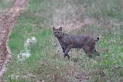 On the prowl. (rlbarn) Tags: bobcat