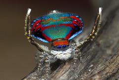 2447_8_2 peacock spider Maratus caeruleus (Jurgen Otto) Tags: