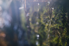 DSC04415 (Benjamin Ling Photography) Tags: plants nature water rock gardens digital forest 35mm lens photography moss bokeh sony botanic canberra algae portra fee whacking preset t15 samyang a7s