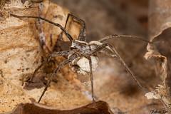 IMG_3340 Yvelines - Pisaura mirabilis avec cocon (fabianvol) Tags: france macro spider arachnid araa francia araigne arachnida arachnide cocon pisaure