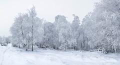 White winter dress (Explored) (mpakarlsson) Tags: show winter panorama white tree nature frost sweden wide wideangle lightroom flickrexplore skaraborg explored lleberg 5dmarkii 5dii 5dm2 5dmark2