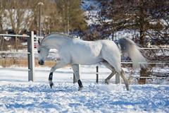 Said_20164466 (OliverSeitz) Tags: said pferd pamir schimmel hengst arabianhorses sadana i vollblutaraber hauptundlandgesttmarbach arabischepferde oliverseitz oliseitzde