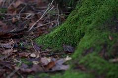 Moss (leunkstar) Tags: tree green slr nature analog vintage woodland mos moss woods nikon focus utrecht forrest pre 25 manual 105 nikkor ai ais preai 105mm nikkor105mm nikonian d90 landgoed nikonlenses beerschoten nikon105mm 105mm25 nikond90 mflenses