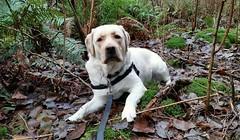 Gracie looking towards me (walneylad) Tags: winter dog pet cute puppy gracie lab labrador canine labradorretriever february