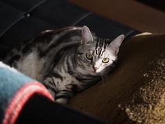 PC300042 (catfish.boogie) Tags: japan cat sapporo hokkaido mzuikodigital45mmf18 olympusomdem5