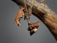 Decimiana bolivari, L3 (_papilio) Tags: macro mantis sony invertebrate papilio mantid arthropod a7ii zeissmakroplanart100mmf2 decimianabolivari
