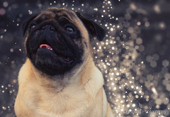 Luna under a spell (Lightastic) Tags: light dog pet cute animal modern photoshop golden licht warm artistic sweet bokeh expression magic creative dream pug hund dreamy magical haustier tier magie mops magisch bokehlicious