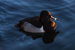 ring necked duck016 (radical dawg) Tags: arizona bird duck diver
