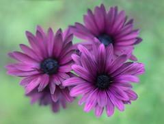 Texture Tuesday~ (Connie Etter Photography) Tags: flower art texture floral flora purple round floralart flickrflowers texturetuesday frenchkisstexture connieetterphotography 5drs