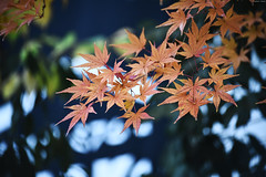 Autumn leaves in Nagano city (Iyhon Chiu) Tags: leaves japan leaf autumnleaves   redleaves   2015      naganocity