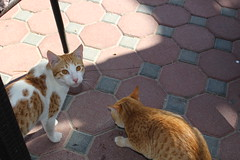 IMG_4277 East Coast tour - Fujairah - Sandy Beach Resort - hungry restaurant cats (drayy) Tags: cats cat restaurant uae sharjah eastcoast fujairah ggg oreengeness thebiggestgroupwithonlycats