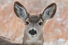 January 9, 2016 - A mule Deer doe at the Rocky Mountain Arsenal. (Tony's Takes)