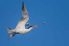 Elegant Tern (OC Birds) Tags: california wild bird nature animal wildlife huntingtonbeach bolsachica eleganttern