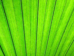 Large leaf, segments and lines (Monceau) Tags: abstract texture lines leaf pattern neworleans diagonal foliage minimalism audubonzoo fillthefield