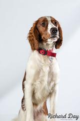 Gwen-1 (Action Petz!) Tags: park uk dog dogs wales puppies south cardiff canine bark spaniel springer dogpark dogphotography welshspringer doggydaycare dogfun welshspaniel actionpetz