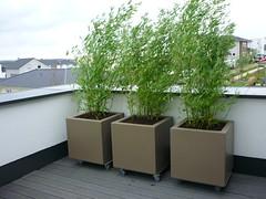 Rollbare Bambushecke (Jrg Paul Kaspari) Tags: mobile mobil bamboo baustelle evergreen roofgarden bambus phyllostachys dachgarten immergrn sichtschutz wincheringen bambushecke sichtschutzhecke