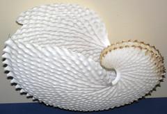 Argonauta nodosa (nodose paper nautilus - eggcase of the knobbed argonaut octopus) 2 (James St. John) Tags: paper egg case octopus octopi nautilus argonaut eggcase argonauta knobbed nodosa octopods nodose