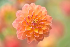 I Live To Be Remembered (Anna Kwa) Tags: dahlia flower macro art love nature marina hope blood singapore heart bokeh live memories soul d750 always remembrance breathe my afsvrmicronikkor105mmf28gifed flowerdome gardensbythebay annakwa