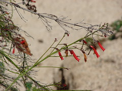 starr-080531-5021-Russelia_equisetiformis-flowering_habit-Halsey_Dr_around_residences_Sand_Island-Midway_Atoll (Starr Environmental) Tags: russeliaequisetiformis