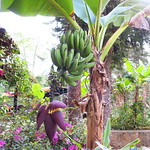 "Banana Tree <a style=""margin-left:10px; font-size:0.8em;"" href=""http://www.flickr.com/photos/14315427@N00/24547648754/"" target=""_blank"">@flickr</a>"