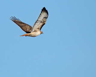 Red Tailed Hawk 6753