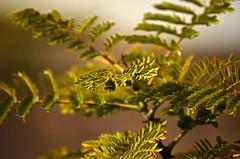 pequeñas hojas verdes (rosatifamadelrio) Tags: fave fave40